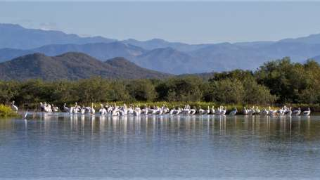 American White Pelican group