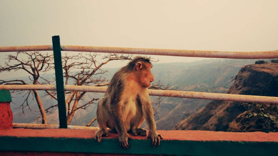 mahableshwar monkey grand resort