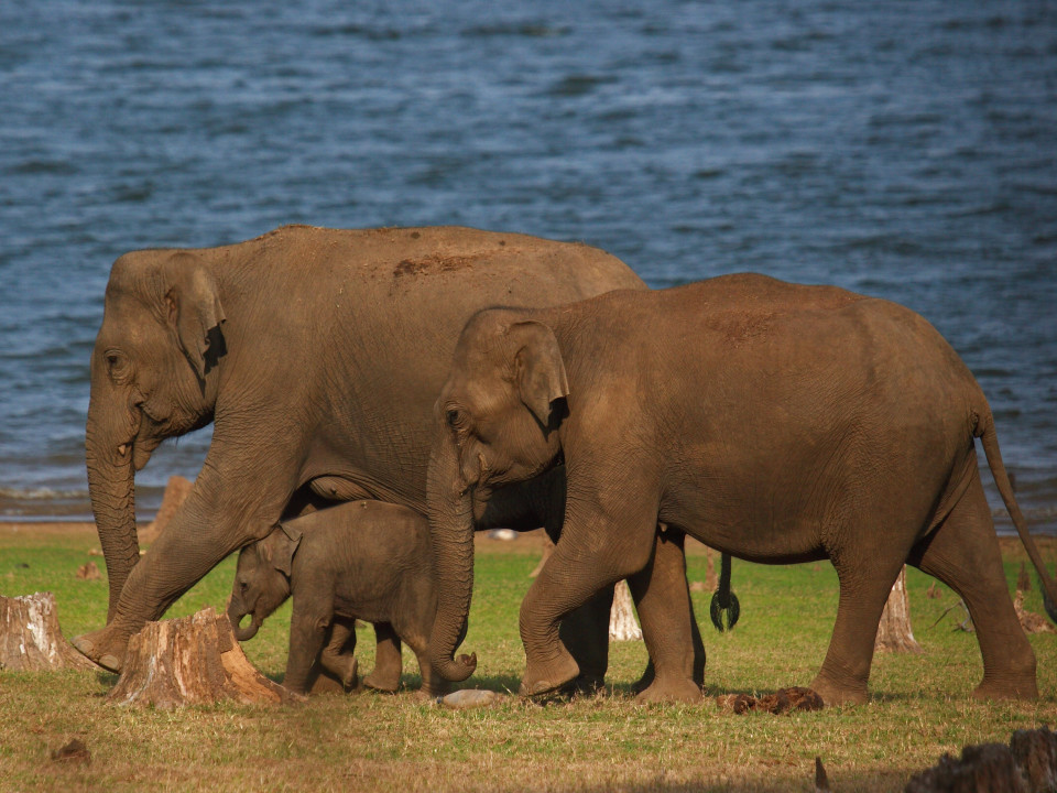 Elephant Herd near Serai Kabini, Wildlife at Kabini, Activities In Kabini, The Serai Kabini, Resorts In Kabini 2