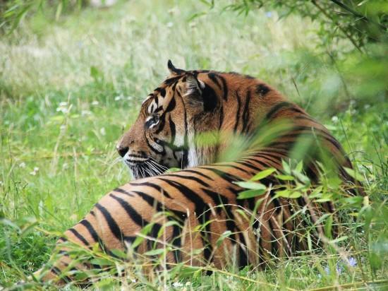 tiger-3543104 1280