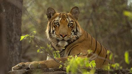 Le ROI Hotels & Resorts  tiger Le Roi Corbett Resort