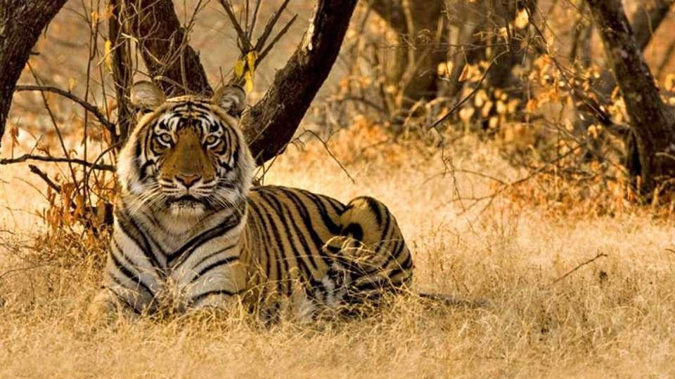 Tiger Camp Resort, Corbett Uttarakhand Bengal Tiger Corbett 2