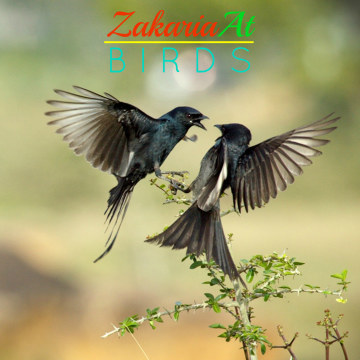 ZakariaAt - Birds Artwork