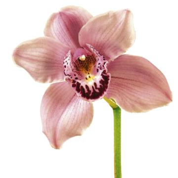 Yuvash Vaidya - Orchid Artwork