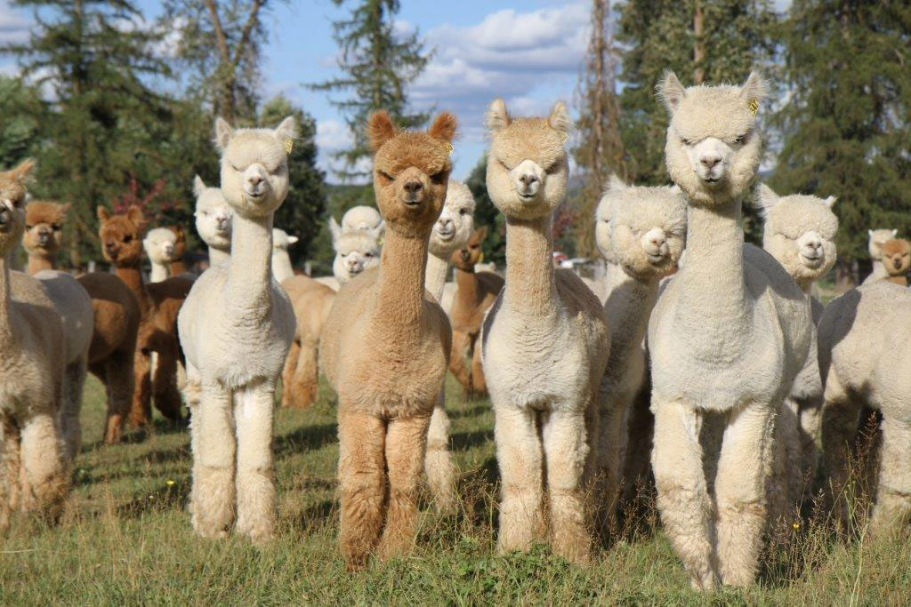Alpacas Make Wine Country Debut