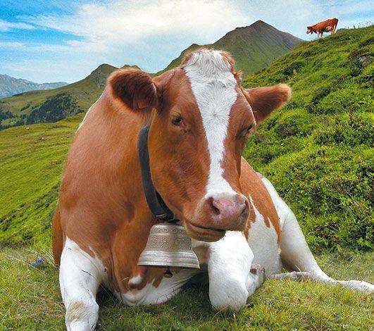 « Kuhleasing » quand la Suisse uberise la distribution de son fromage d'alpage.
