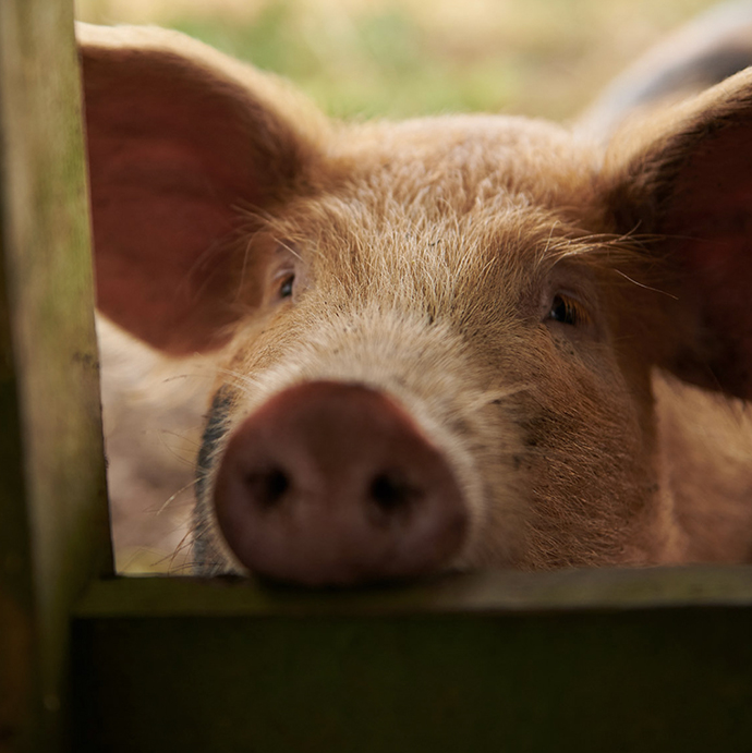 A pig sticking its head between a wooden fence.