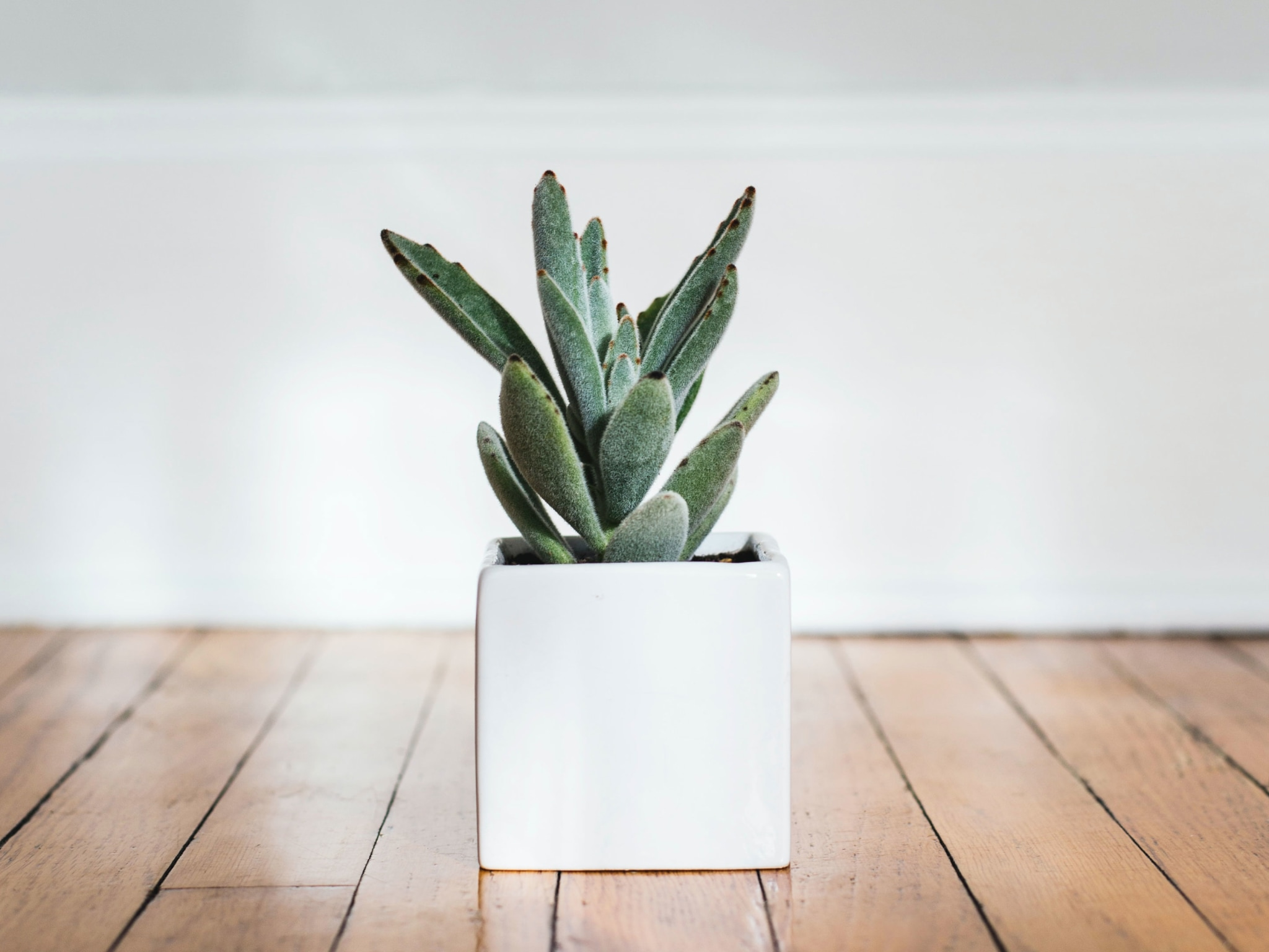 A succulent in a white vase on a wooden floor.