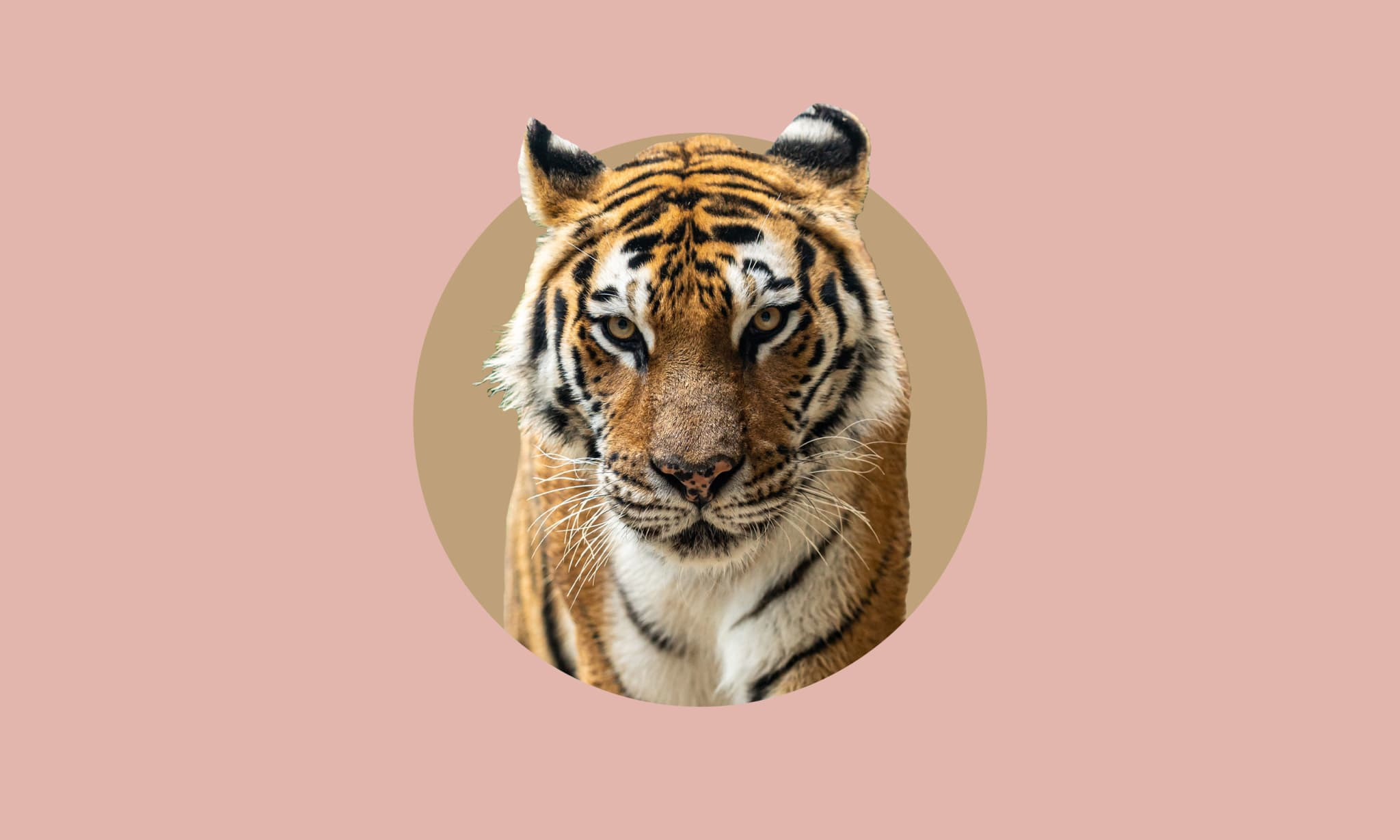 A tiger's head cutout onto a pink background.