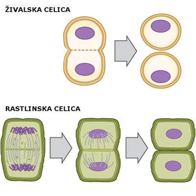 delitev živalske in rastlinske celice