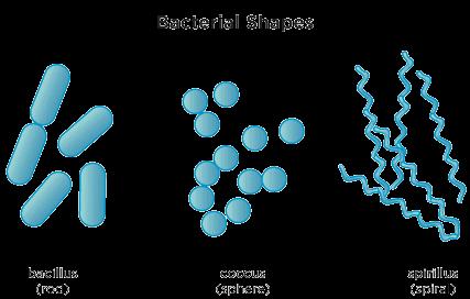 oblike bakterij