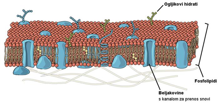 Celična membrana - sestava