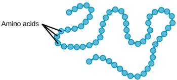 primarna zgradba beljakovin