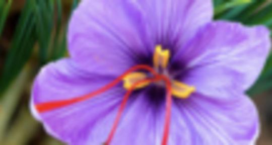 AAAAA - Saffron