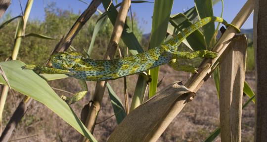 Photo of incognito chameleon