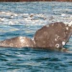 130919_WhalesGalore381