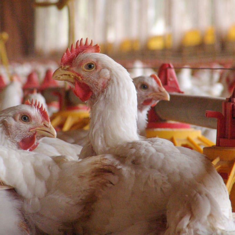 commercial broiler chickens