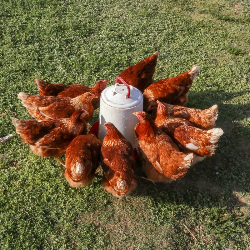 brown backyard chickens drinking water in green grass at a plastic waterer