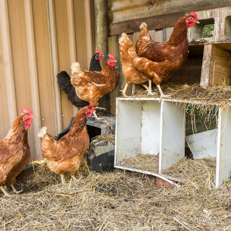 backyard brown chickens in white nesting boxes in a chicken coop with hay on the floor