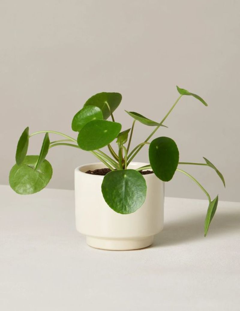 Faux Pilea from The Sill