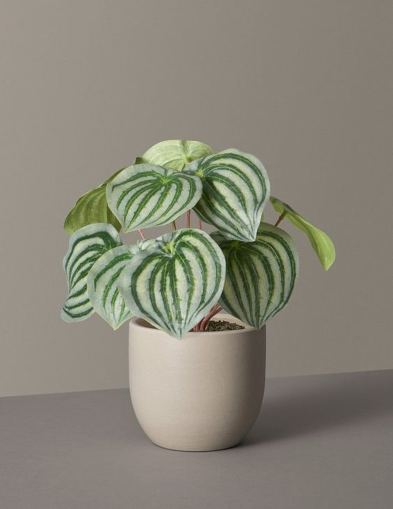 Faux Watermelon Peperomia from The Sill