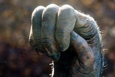 Кисть обезьяны не сжимается в полноценный кулак