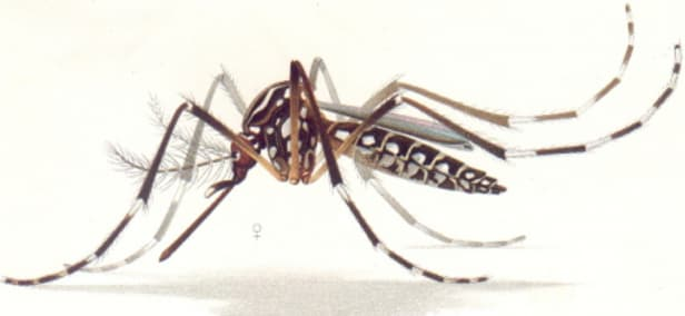 dengue hemorrhagic fever,  dengue, aedes mosquito