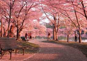 National Cherry Blossom Festival Parking Preferred Parking Partner