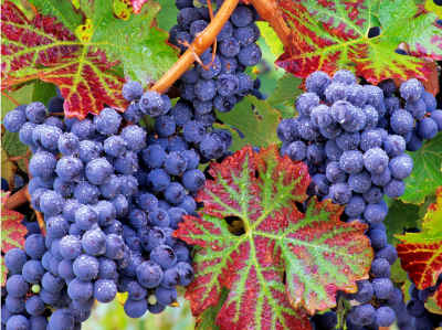 Grapes On The Vine 1000 Piece Delicious Delights Jigsaw Puzzle