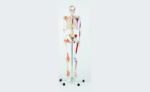 Levensgroot skelet
