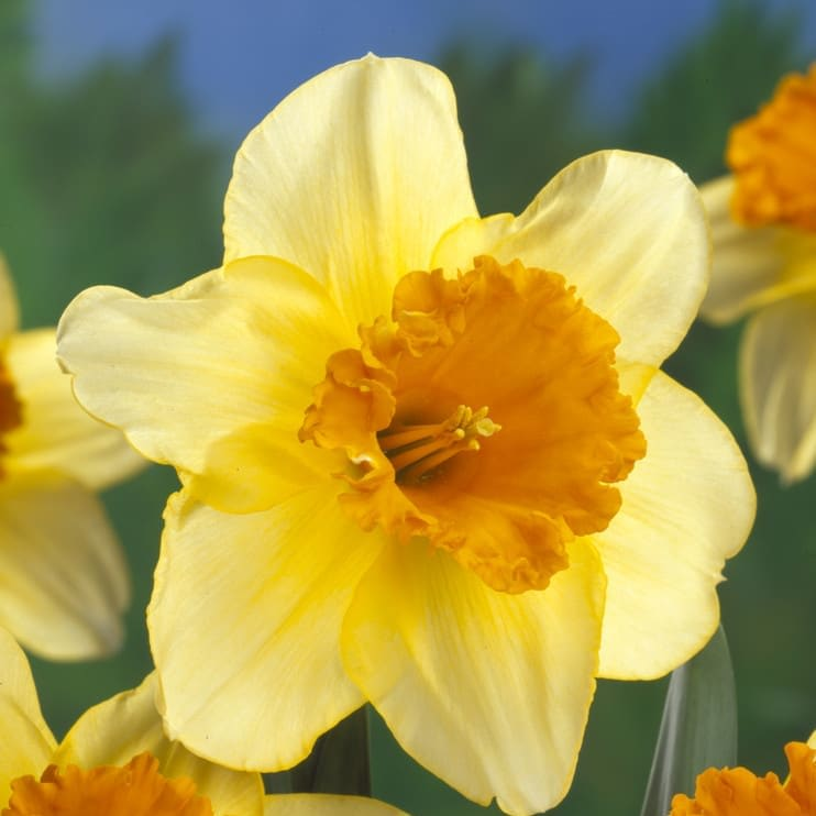 Narcissus Fortissimo Bulbs
