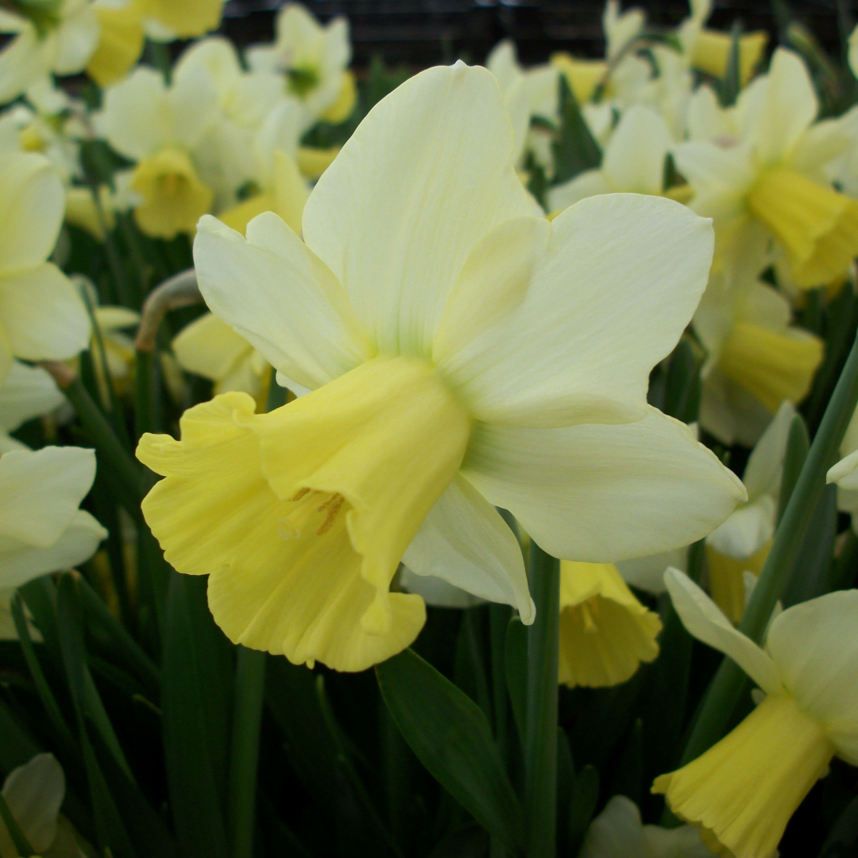 Narcissus Pastorale Bulbs