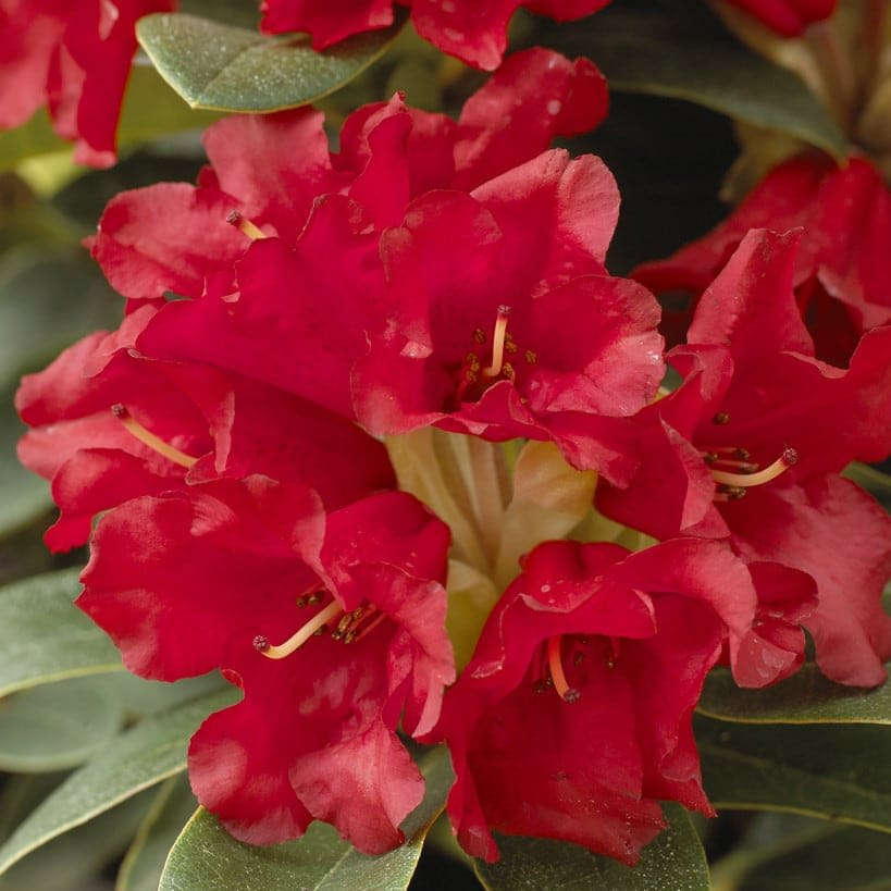 Rhododendron 'Bengal'