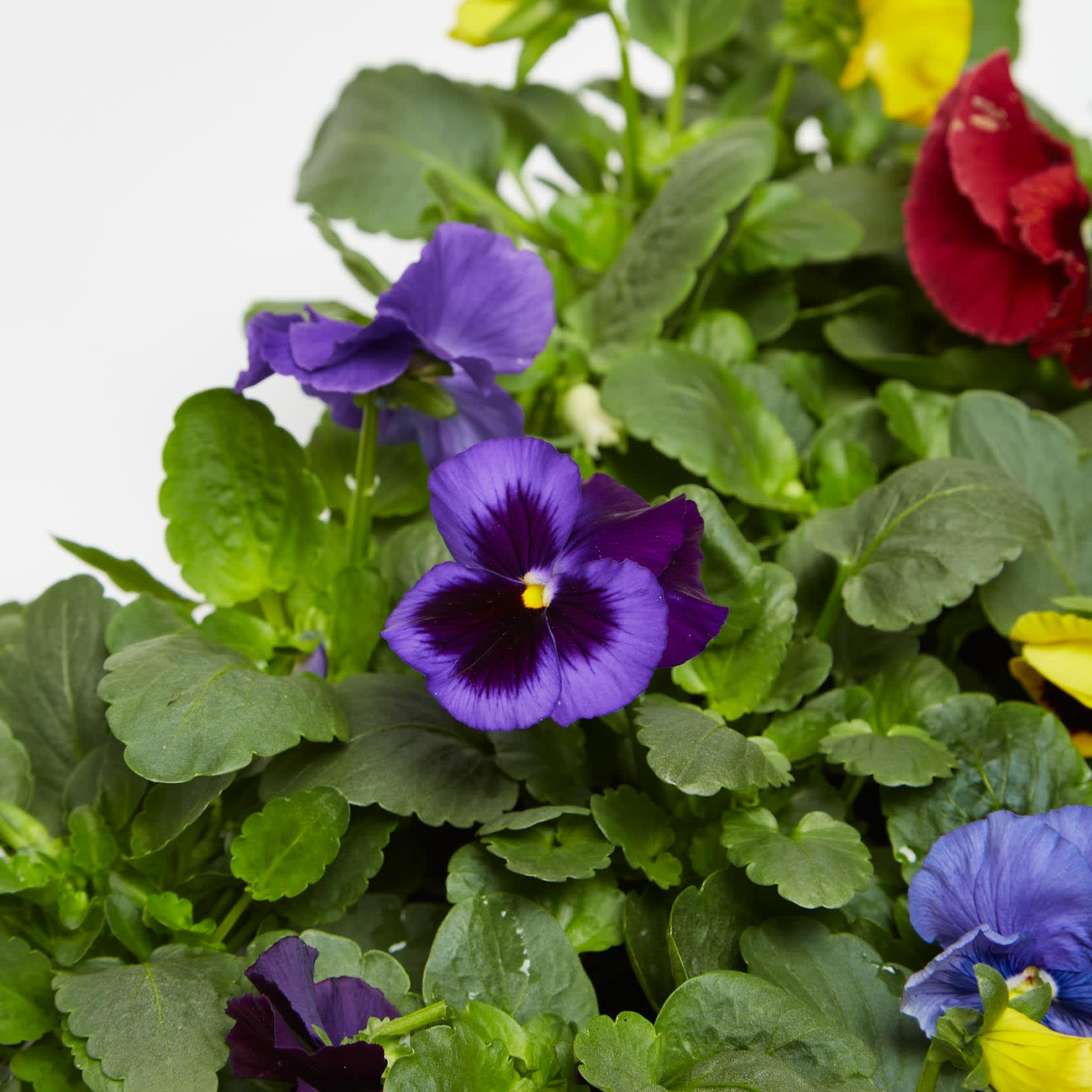 Pansy Mixed 20-Pack