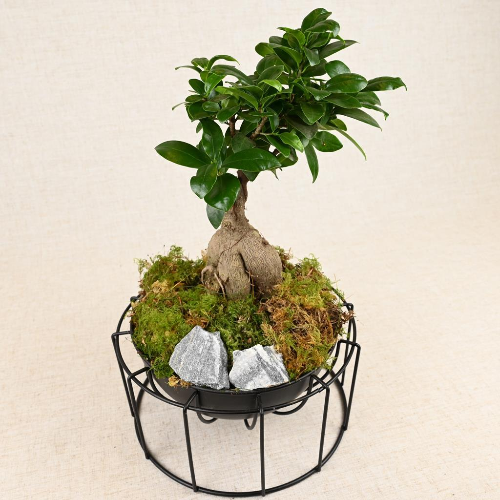 Ficus Microcarpa 'Ginseng' And Planter