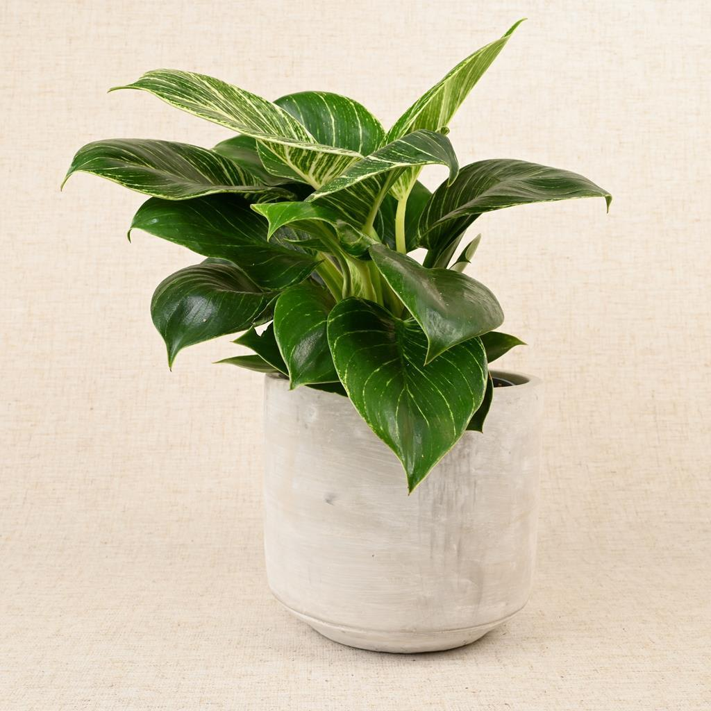 Philodendron 'White Wave'