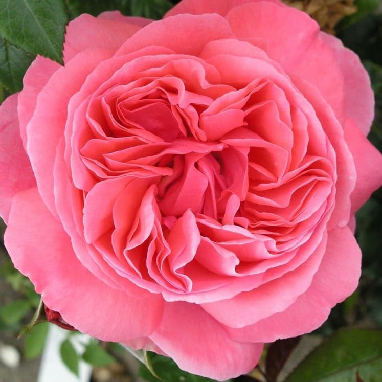 'Special Anniversary' Rose