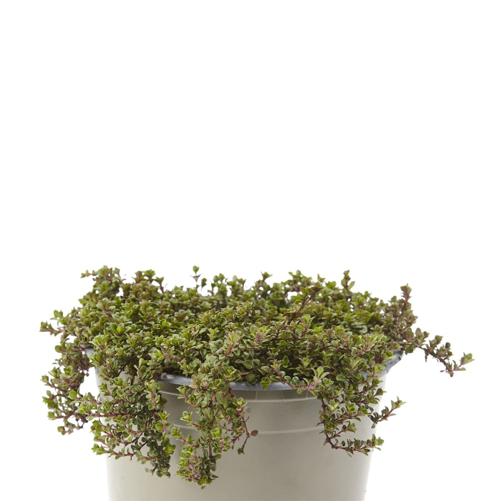 Thyme 'Wine and Roses'