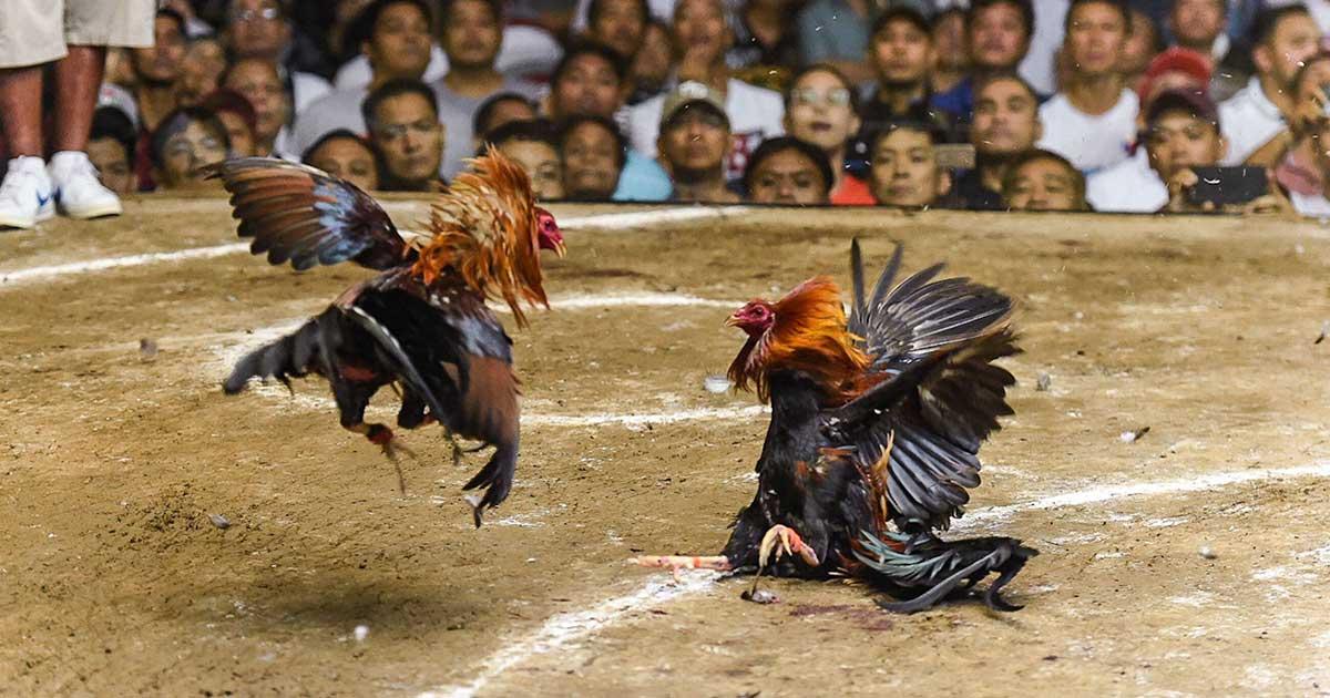 Ayam yang sedang bertarung untuk di judikan