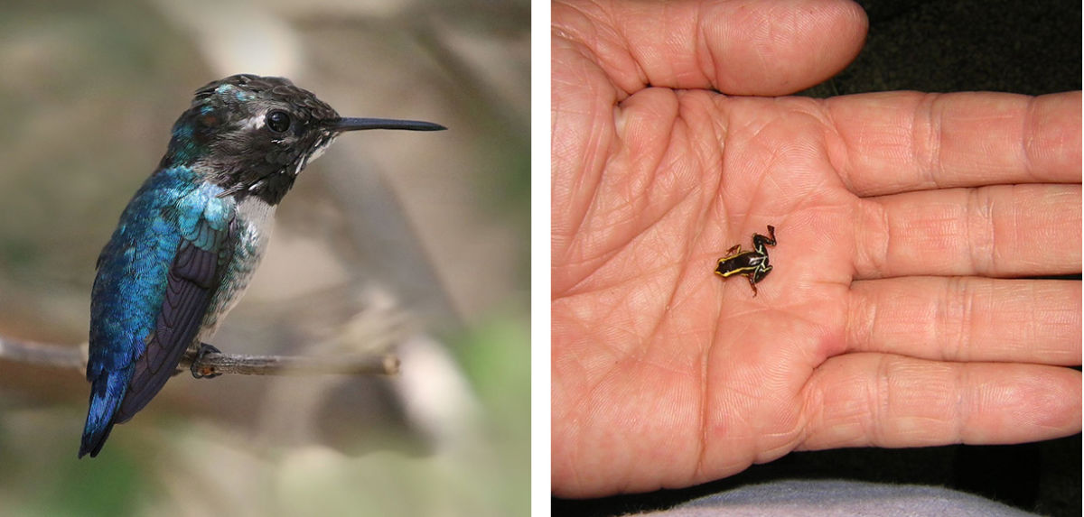 the bee hummingbird and the monte iberia frog