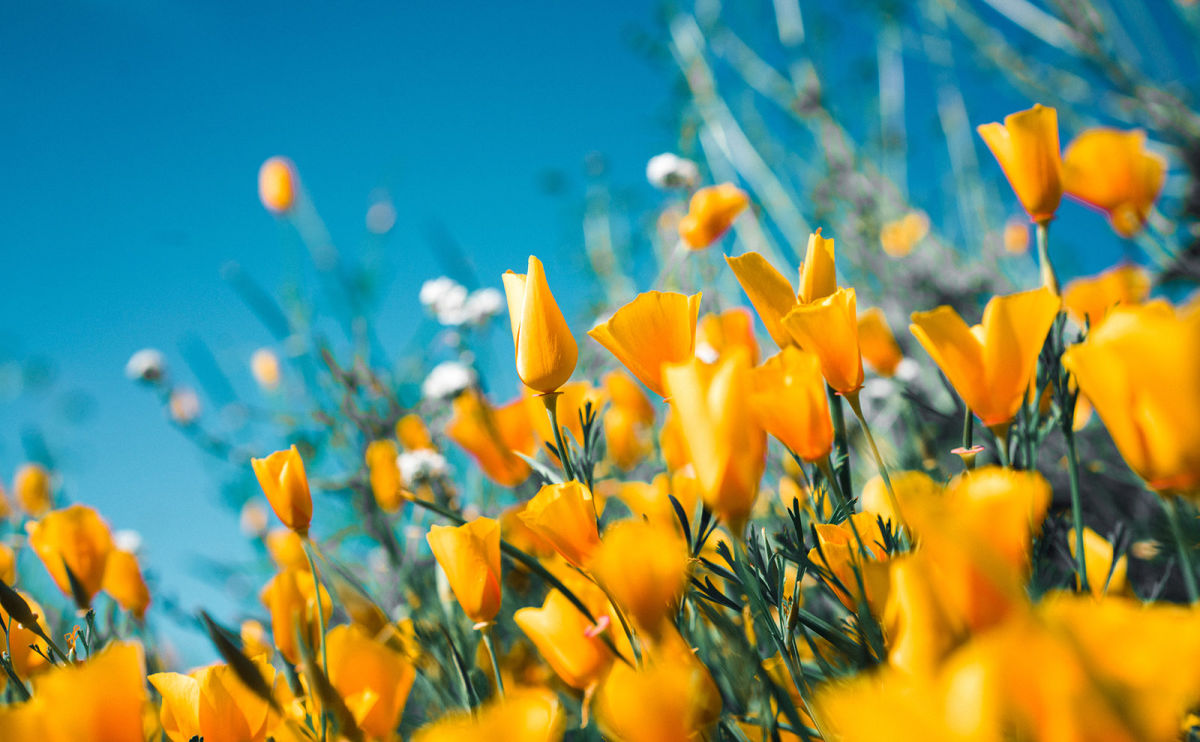 CA Poppies, SciFi Librarians, Int'l Sandwiches, Book Fairies & More: Endnotes 21 May