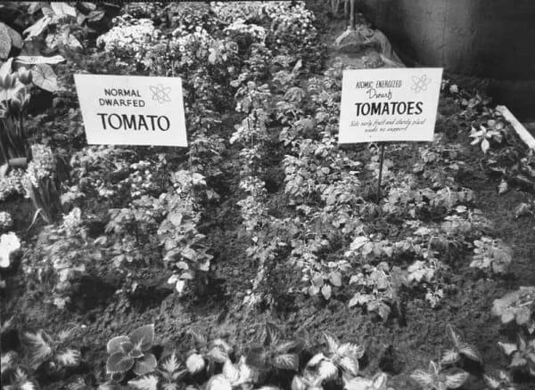 Атомные сады в СССР и США: как появились красно-рубиновые грейпфруты (которые мы сейчас едим) и мятный вкус зубной пасты