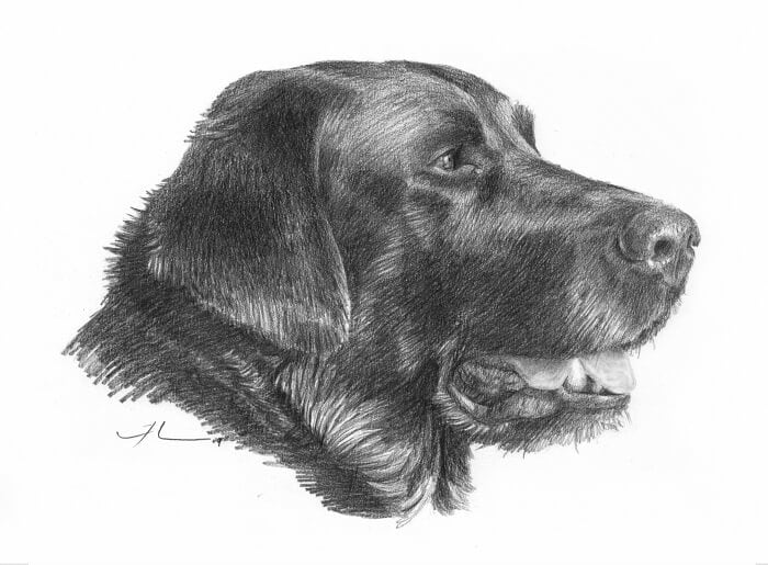 Pencil pet portrait from a photo of a black labrdor by portrait artist Mike Theuer.
