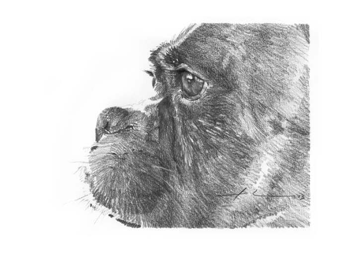 Pencil pet portrait from a photo of a boxer dog closeup by portrait artist Mike Theuer.