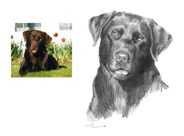 Pencil pet portrait from a photo of a chocolate labrador by portrait artist Mike Theuer. Photo reference included.