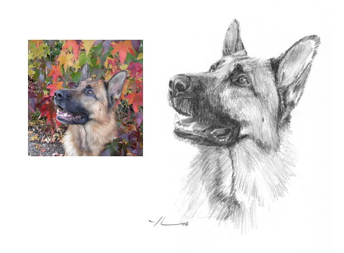 Pencil pet portrait from a photo of a german shepherd by portrait artist Mike Theuer. Photo reference included.