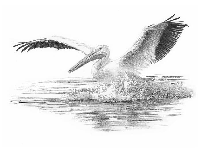 Pencil pet portrait from a photo of a pelican by portrait artist Mike Theuer.