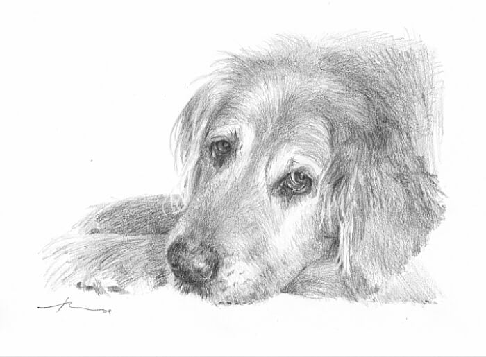 Pencil pet portrait from a photo of old golden retriever by portrait artist Mike Theuer.