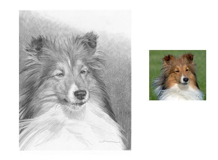Pencil pet portrait from a photo of a sheltie by portrait artist Mike Theuer. Photo reference included.