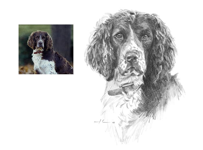 Pencil pet portrait from a photo of a springer spaniel by portrait artist Mike Theuer. Photo reference included.